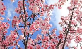 英国最全赏樱打卡地点,不用去日本也能看到绝美樱花