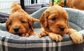 留学期间想养只宠物?在英国购买猫猫狗狗原来有这么多没想到的事儿